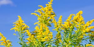 Allergie-Katalysator-Ambrosia-620x310
